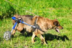 Dog in a wheelchair Stock Photo