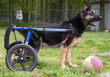 Dog in wheelchair II royalty free stock photos