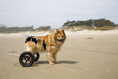 Dog on Wheels 02. A differently-abled dog on the beach stock images