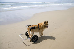 Dog on Wheels. A differently-abled dog on the beach royalty free stock photo