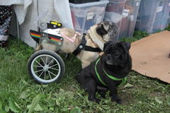Dog with wheels. Dog friends - Disabled puppy with wheels and his playmate Stock Image