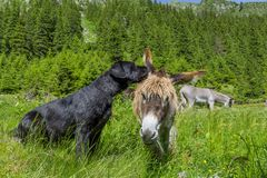 Dog whispering secrets his donkey friend, close up. Royalty Free Stock Images