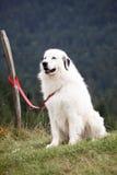 dog white Royaltyfria Foton