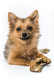 Dog on white. Pomeranian dog - spitz puppy portrait on white background whith bone Stock Photo