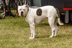 Dog. A white american bull dog with a black patch on its body Royalty Free Stock Photo