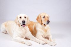 Dog on white background Royalty Free Stock Photography