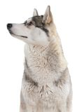 Dog on a white background. Royalty Free Stock Image