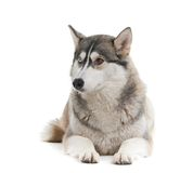 Dog on a white background. Stock Images