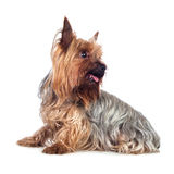Dog  on a White Background Royalty Free Stock Photo