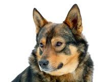 Dog on white background. Portrait of a dog isolated on white background royalty free stock image