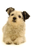 Dog on white background Royalty Free Stock Photography