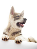 Dog on a white background Royalty Free Stock Images