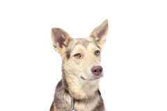 Dog on a white background. A dog on a white background Royalty Free Stock Photography