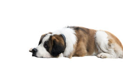 Dog on a white background Royalty Free Stock Image