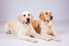 Dog on white background Stock Images