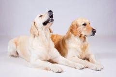 Dog on white background Royalty Free Stock Image