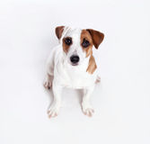 Dog at white background. Looking up Stock Photo