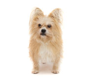 Dog on a white background. The photo shows a dog on a white background Royalty Free Stock Image