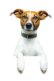 Dog with a white banner. And looking straight Stock Images
