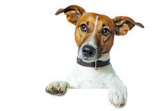 Dog with a white banner. And looking straight Stock Photo
