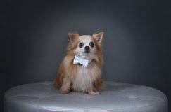 Dog with White Bow Stock Image