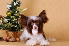 Dog is white and brown on a beige background (New Year holiday) Royalty Free Stock Image