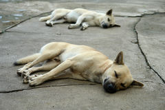 Dog white and brown sleeping. Two dogs were sleeping on the concrete floor with pleasure stock photography