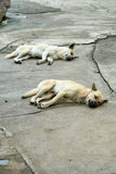 Dog white and brown sleeping. Two dogs were sleeping on the concrete floor with pleasure royalty free stock images