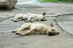 Dog white and brown sleeping. Two dogs were sleeping on the concrete floor with pleasure stock image