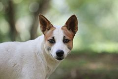 Dog White and brown in Thailand royalty free stock photography