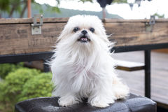 A dog white on the chair looking. A dog white on the chair Royalty Free Stock Images