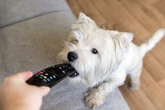 Dog with white coat chews the remote, the West highland white Terrier. Dog with white hair bites remote, puppy breed West highland white Terrier royalty free stock image