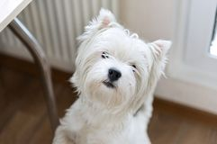 West highland white Terrier. Puppy royalty free stock image