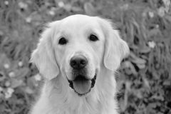 Dog, White, Dog Like Mammal, Black Stock Images