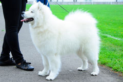 Dog. White dog on the exhibition Royalty Free Stock Images