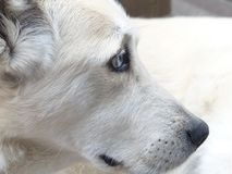 Dog, White, Face, Eyes, Portrait Royalty Free Stock Photo