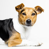 Dog on white Stock Image