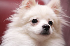 Dog, white Pomeranian Royalty Free Stock Image