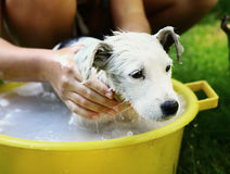 Dog white puppy wash in yellow basin. Outdoor summer photo Stock Images