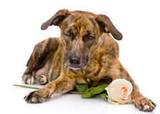 Dog with a white rose. isolated on white background Royalty Free Stock Photo