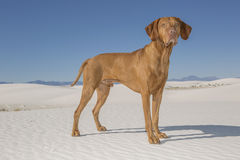 Dog in white sand desert Stock Photography