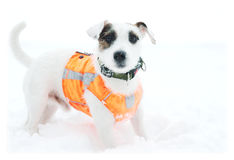 Dog on a white snow. Terrier in the collar and orange waistcoat on a white snow stock photos
