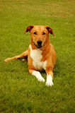 Dog with white socks. A beautiful well behaved brown big mixed breed dog with cute expression in the face and white paws lying relaxed in the grass and watching Stock Photo