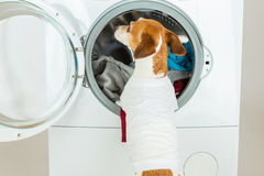 Dog in white t-short back. Empty space for your brand logo image or text. Laundry and dry cleaning pet service.Funny ad for your business royalty free stock photos