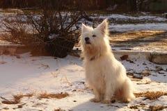 Dog. White dog on a yellow sunset Stock Images