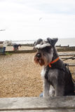 Dog on whitstable beach Stock Images