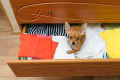 The dog who hid in the chest. Toy Terrier who hid in the chest stock photography