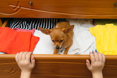 The dog who hid in the chest. Stock Photo