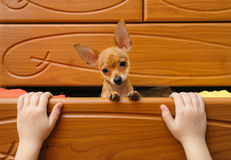 The dog who hid in the chest. Royalty Free Stock Images