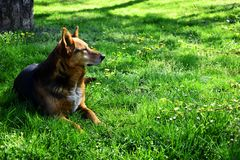 The dog who lays in grass at glade look in distance stock images